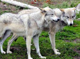 loups à Yellowstone