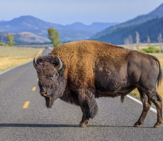 ouest americain en 5 semaines yellowstone